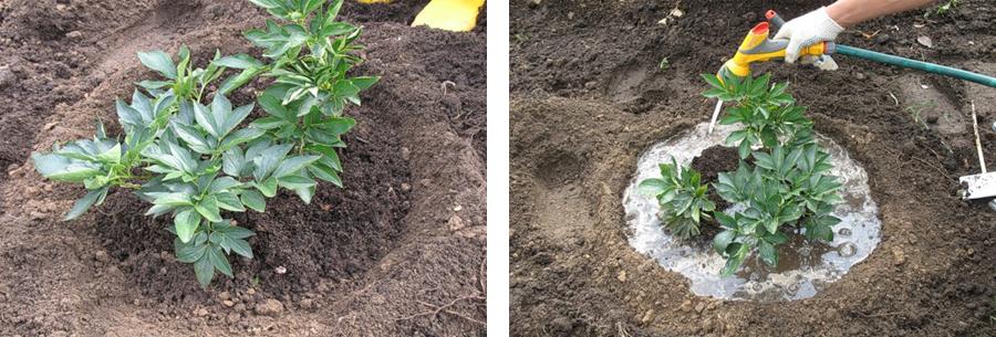Полив и подкормка гладиолусов для обильного роста и цветения после посадки