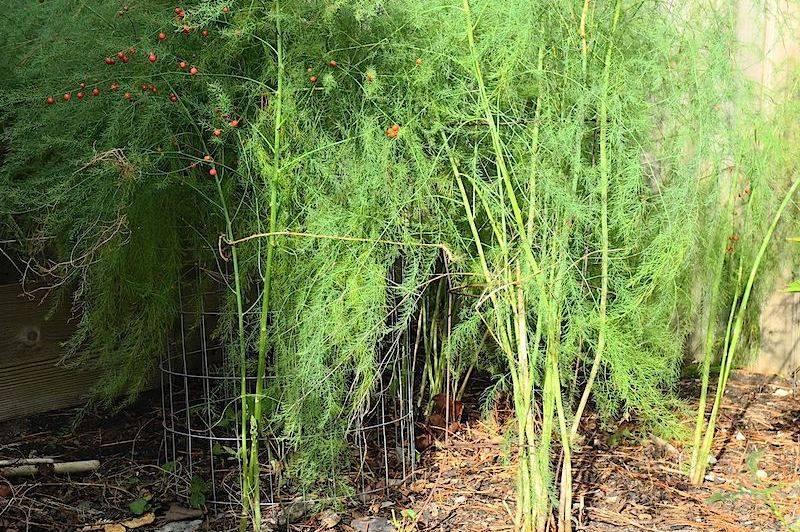 Спаржа — ранний овощ