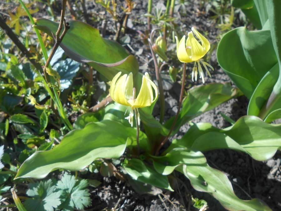 Эритрониум: описание, посадка, уход, размножение, болезни и вредители, фото. - читайте на орхис