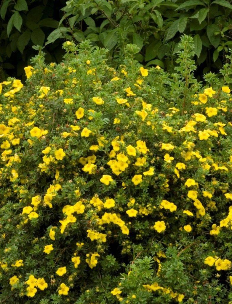 Как изменить цвет гортензии и лапчатки? цветущие кустарники: посадка и уход. выращивание гортензии и лапчатки - советы