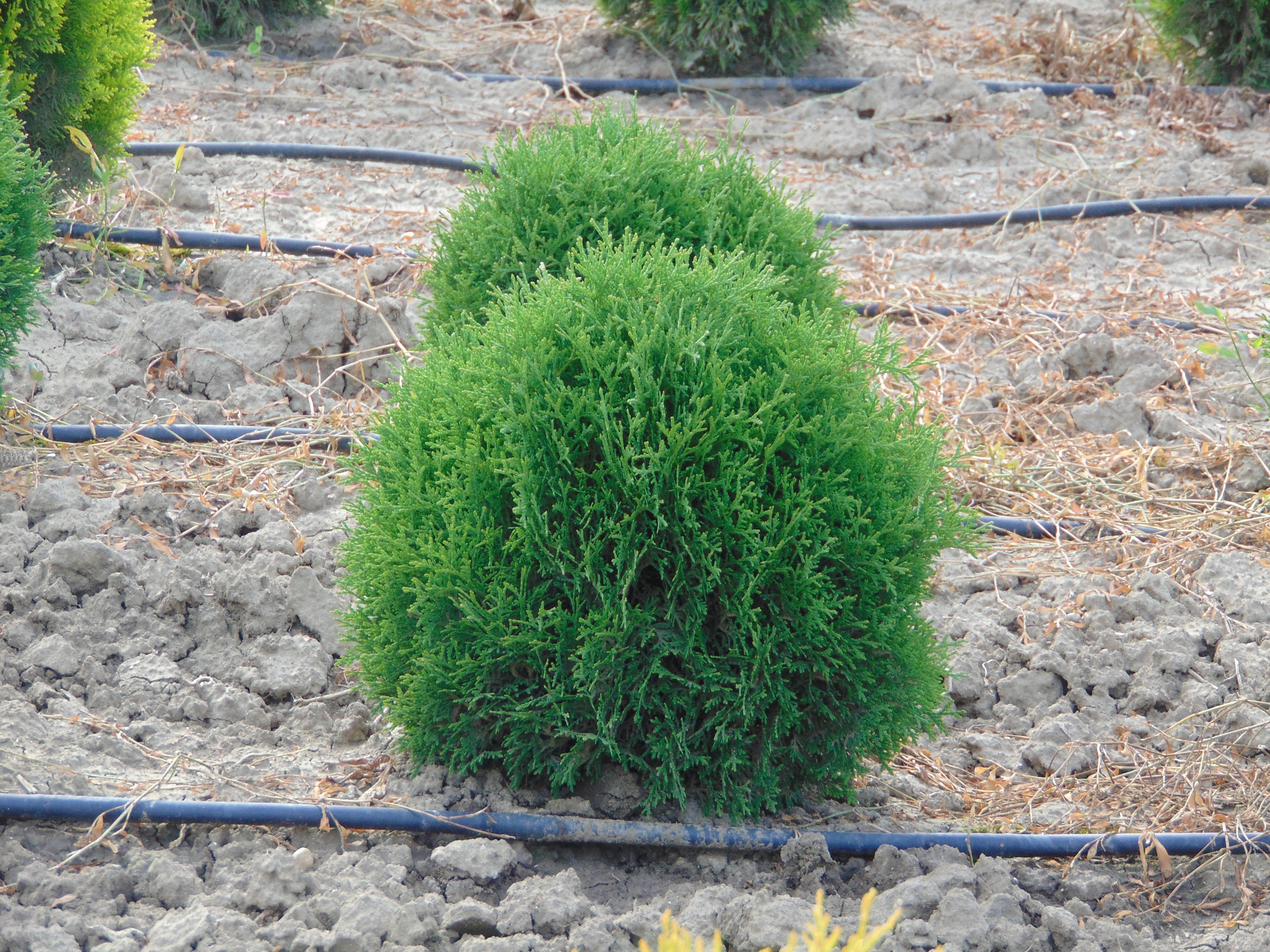 Глобоза: туя западная, шаровидная, посадка и уход, выращивание и размножение