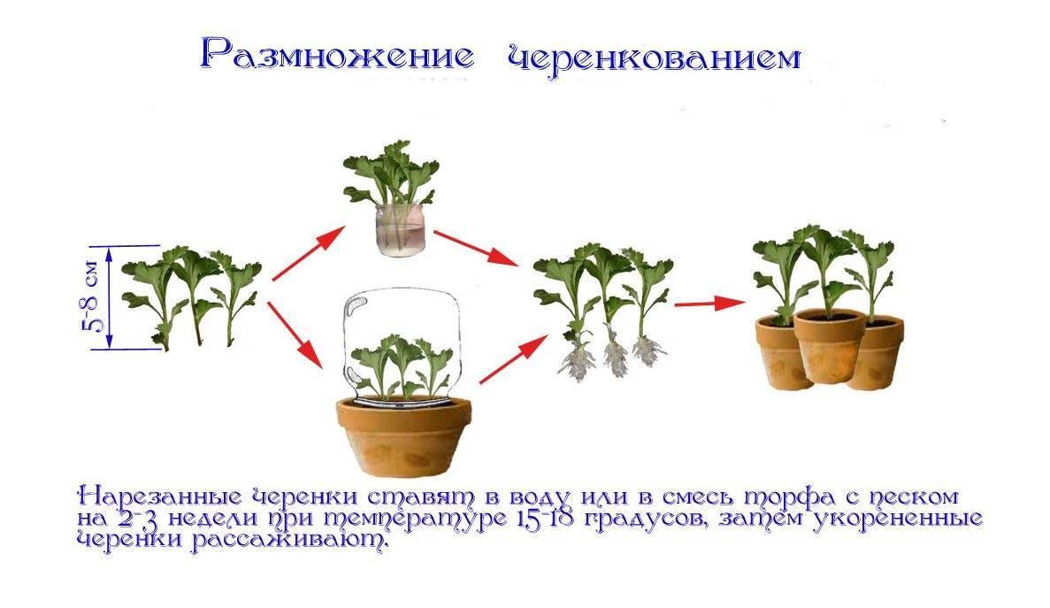 Уход за нолиной в доме: необходимые условия цветения и способы размножения