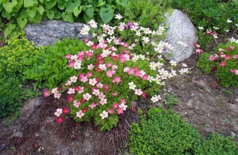 """""""камнеломка арендса"""": посадка, фото, выращивание из семян и уход в домашних условиях"""