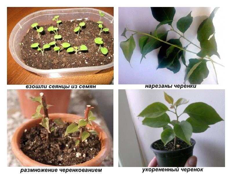 Выращивание броваллии из семян в домашних условиях: выбор времени посадки, грунта и ёмкости, подготовка к высаживанию и уход за растением, а также об иных способах