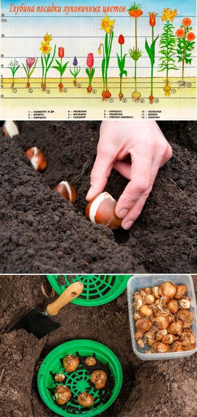 Посадка крокусов: как и когда высаживать растения осенью с последующим уходом