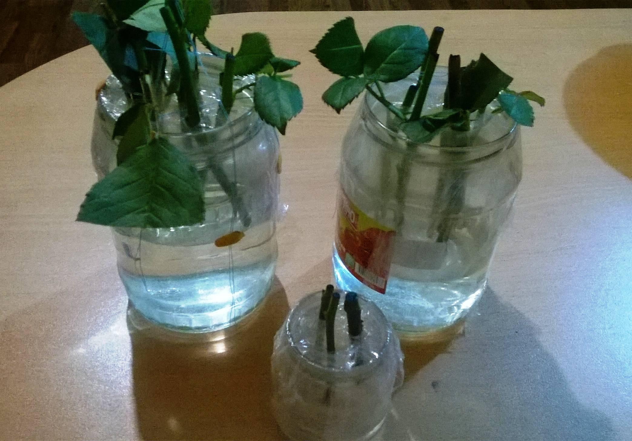 Как вырастить хризантему из букета в домашних условиях?
