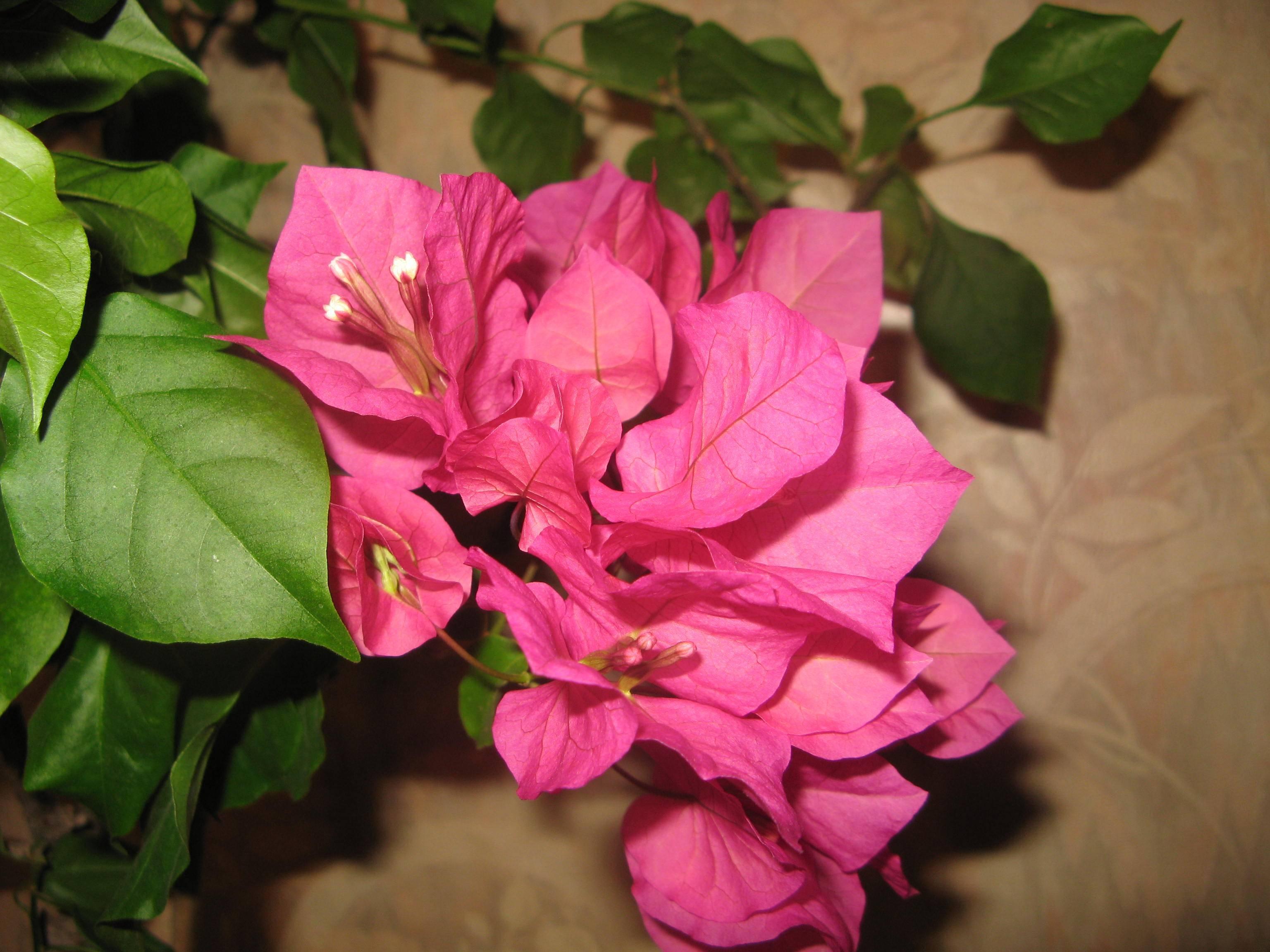 Бугенвиллия: виды и сорта, выращивание и уход в домашних условиях