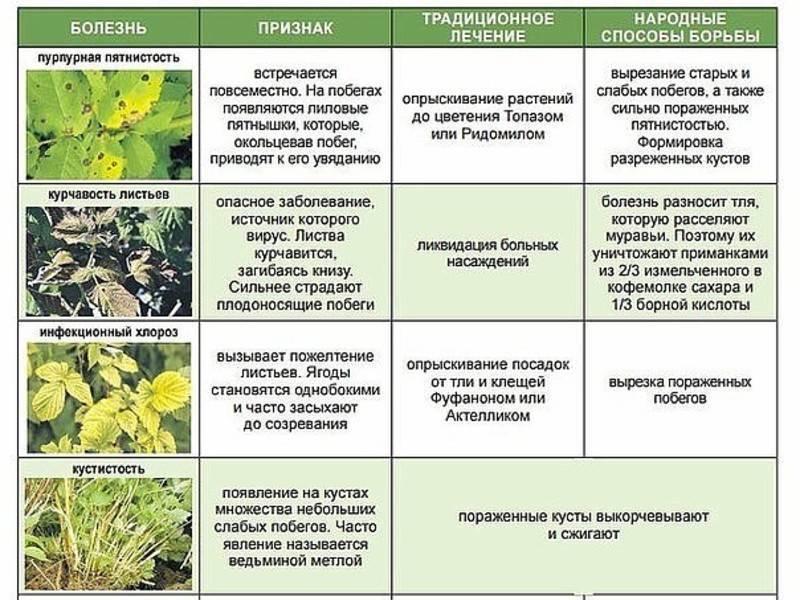 Заболевания роз. описание вредителей. лечение народными средствами