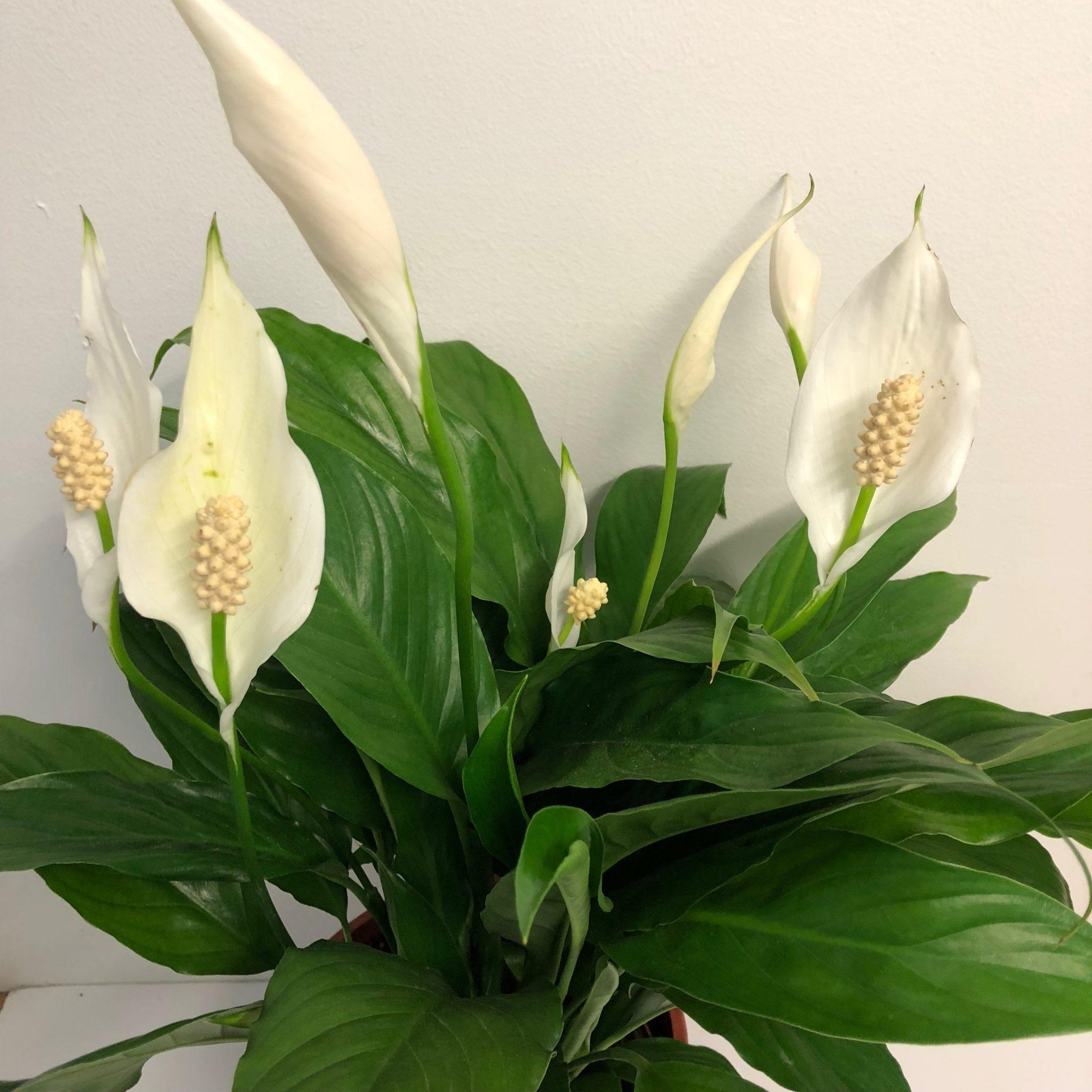 У цветка «женское счастье» (спатифиллум) позеленели цветы: почему и что делать