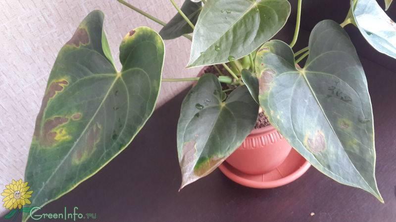 Что делать, если у антуриума чернеют листья?