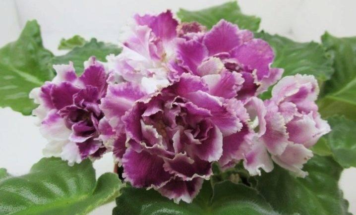 Фиалка северная роза