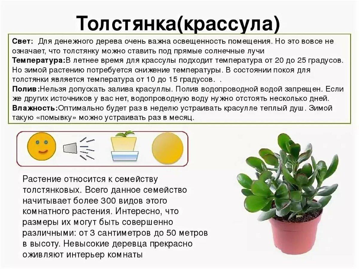 Цветок мирт в домашних условиях: рекомендации по уходу, фото