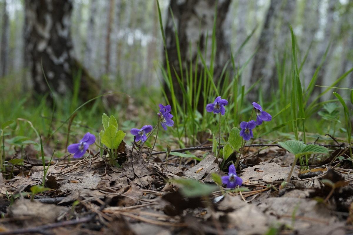 Фиалка душистая - вестница весны