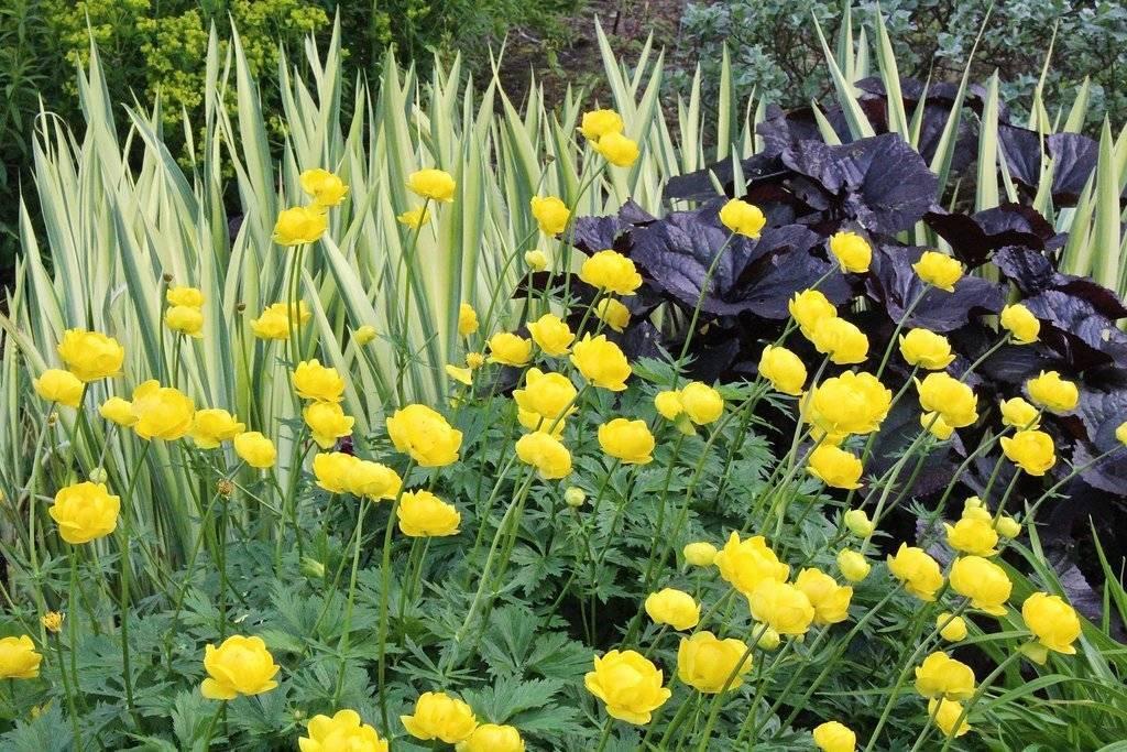 Купальница цветок — описание растения, посадка и уход в огороде