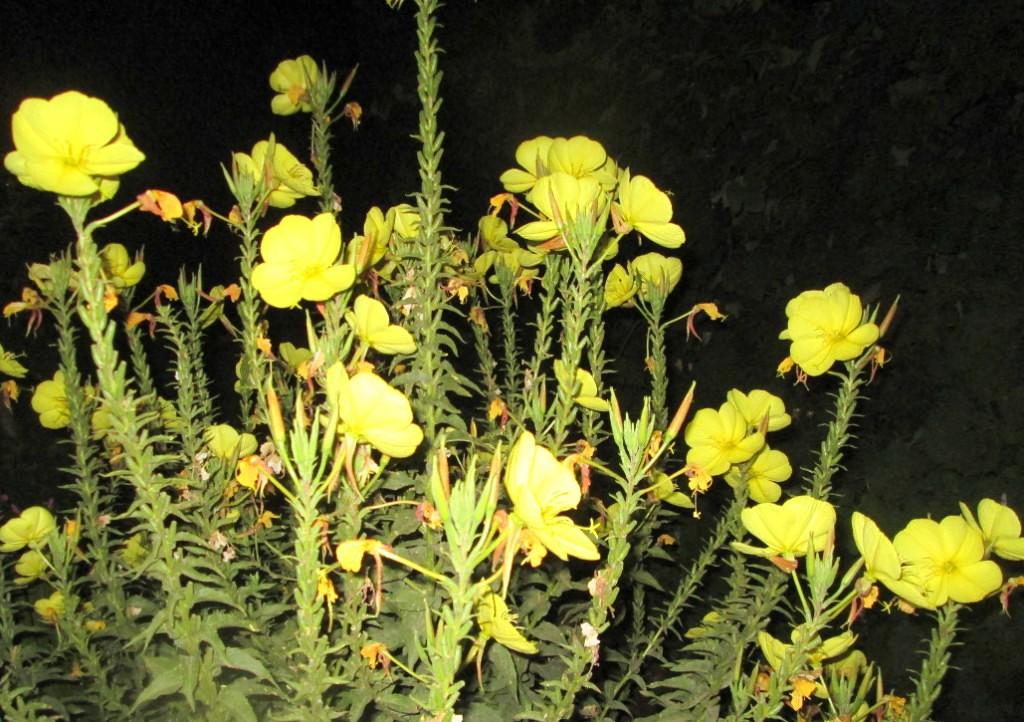Каталог однолетних цветов для дачи с фото и названиями