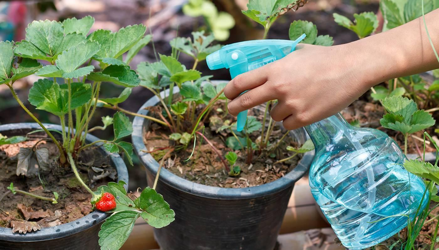 Дюшенея индийская– выращивание из семян, посадка и уход