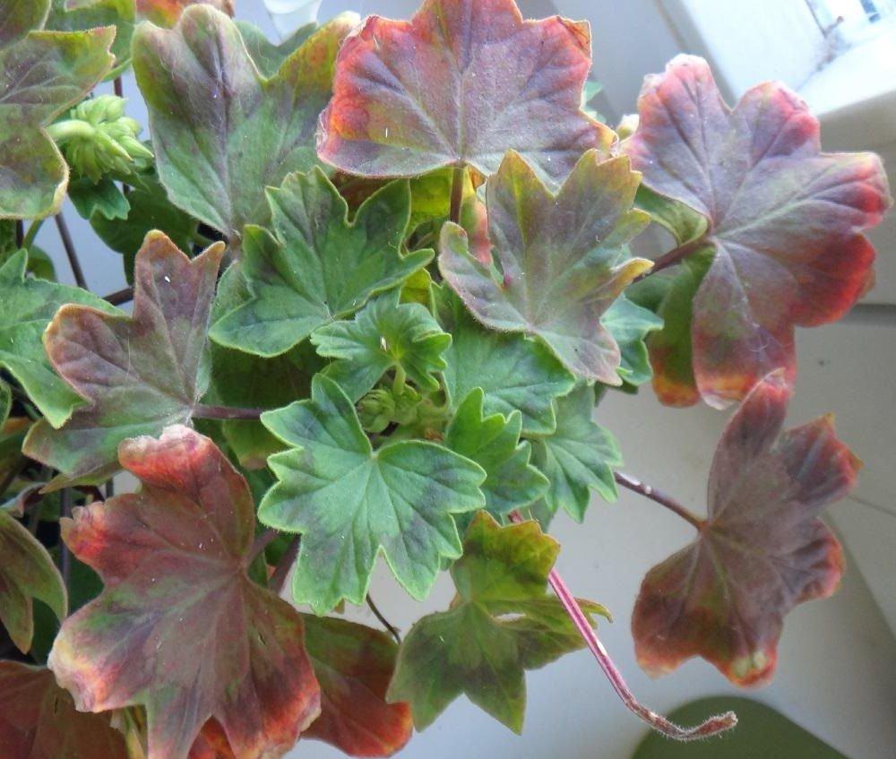 Почему желтеют листья у герани, и сохнут? причины. что делать? основные болезни герани