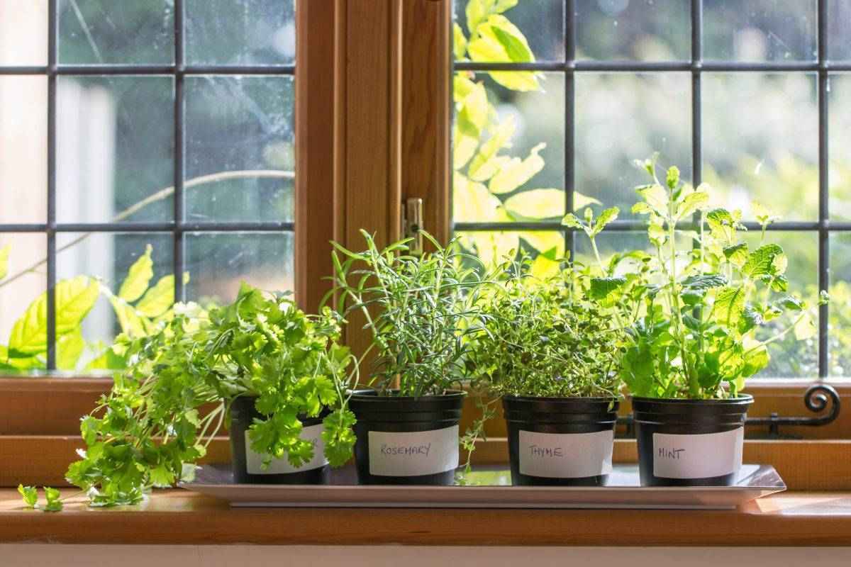 Ароматом и вечнозеленым видом порадует комнатный плектрантус
