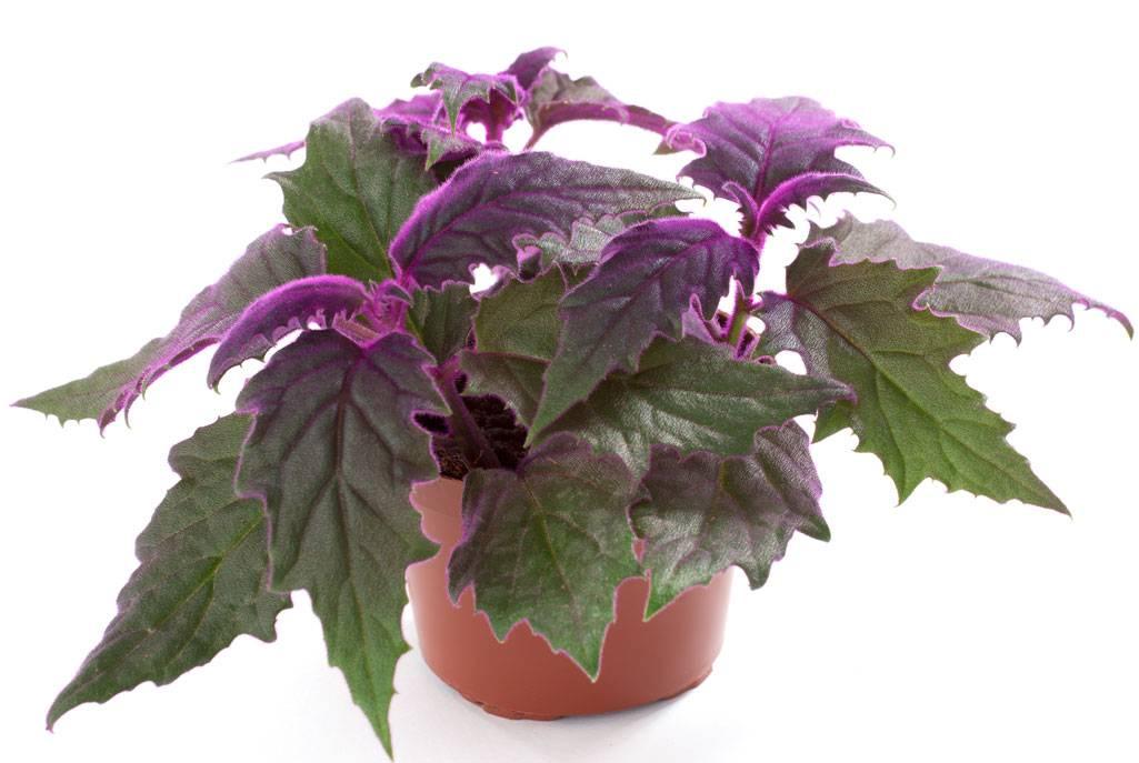 Комнатный цветок гинура: уход в домашних условиях, как цветет гинура