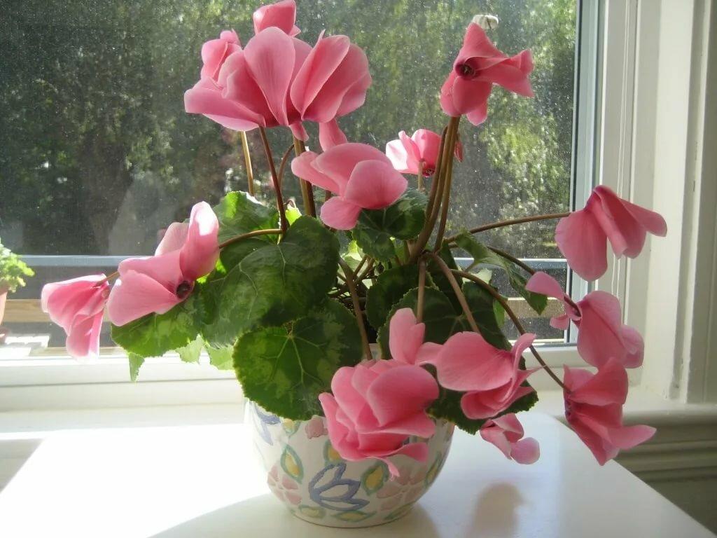 Как ухаживать за цветком цикламен в домашних условиях