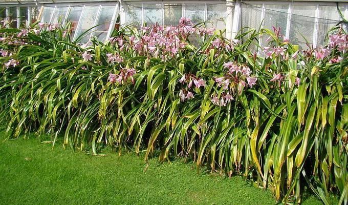 Садовые аспарагусы или спаржа: выращивание на даче и уход в открытом грунте