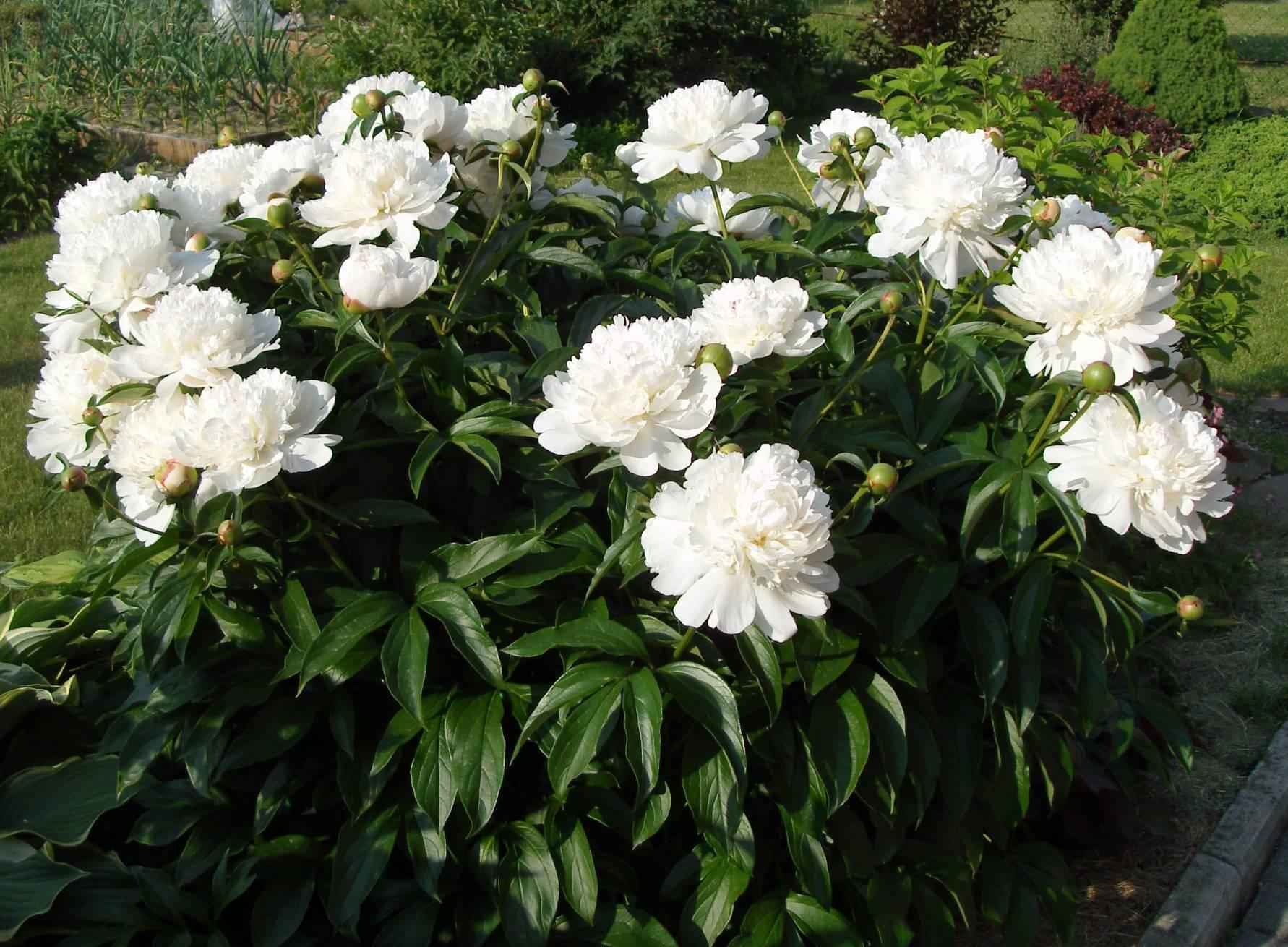 Описание молочноцветкового пиона сорта фестива максима (paeonia festiva maxima)