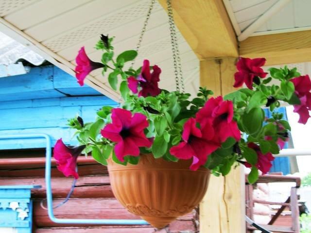 Петунии на балконе — правильный уход за растением