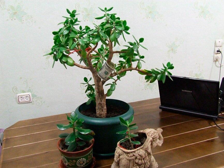 Денежное дерево: приметы и суеверия для дома