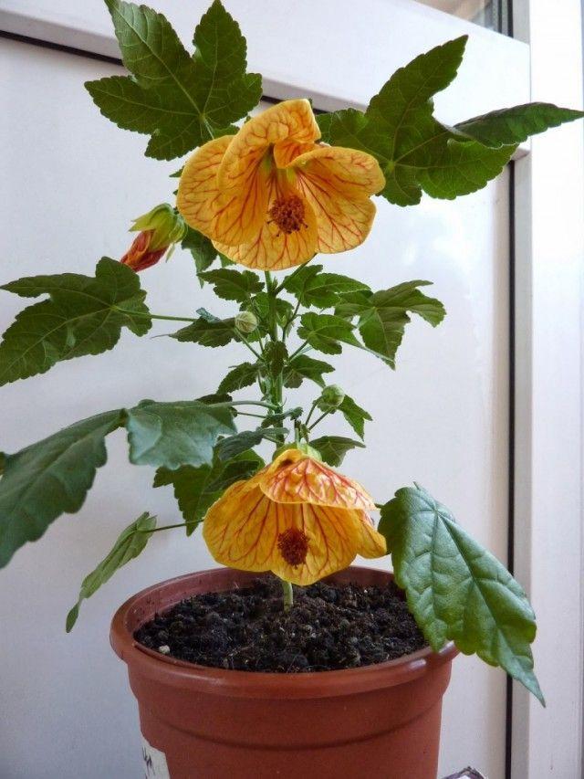 Абутилон, комнатный клен – выращивание и уход в домашних условиях | образцовая усадьба