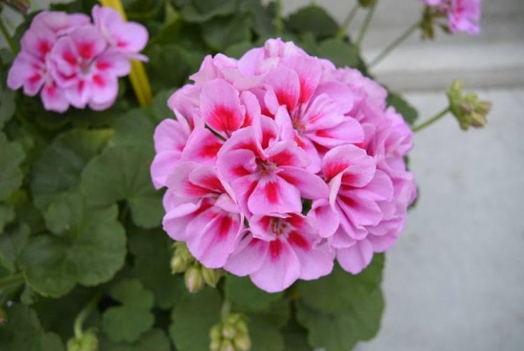 Как вырастить ампельный цветок пеларгонию плющелистную