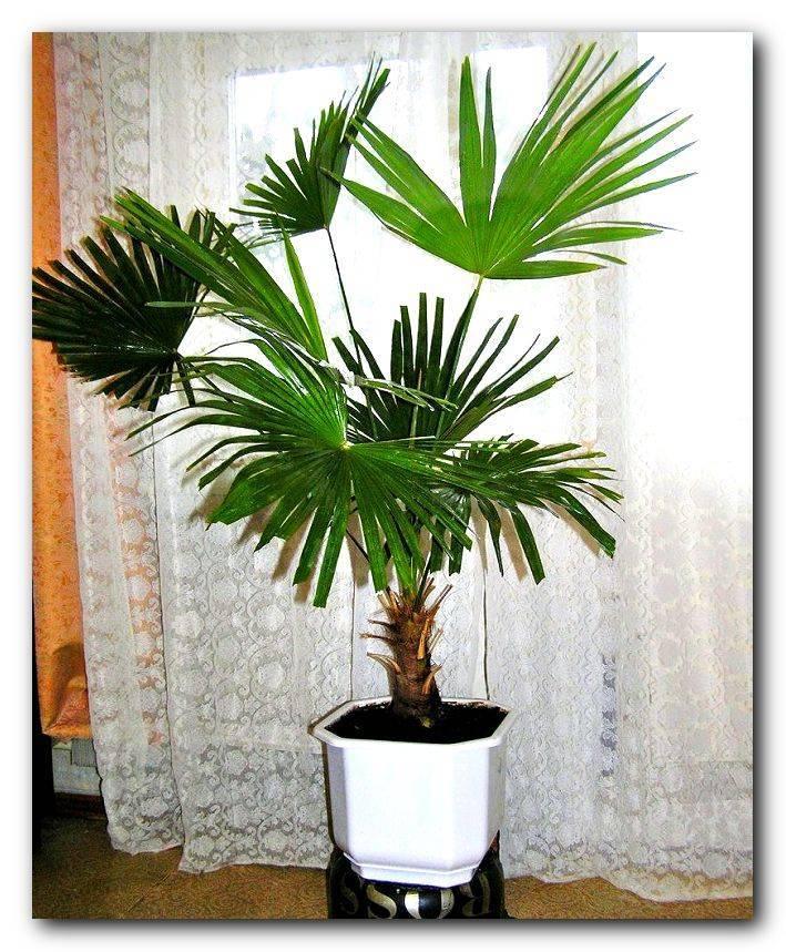 Комнатные растения пальмы: названия домашних пальм и их фото