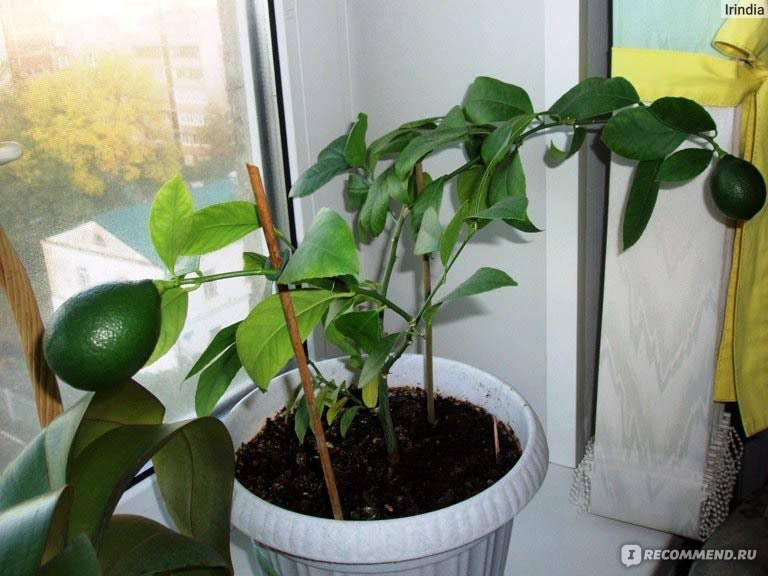 Пальма с бананами: как цветет и как размножается, это трава или дерево