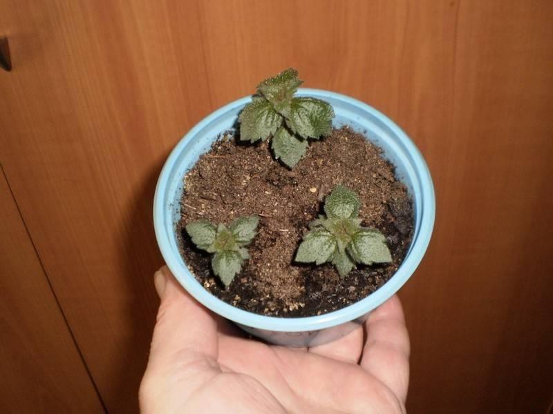 Цветок ахименес (achimenes) в домашних условиях (фото и описание)