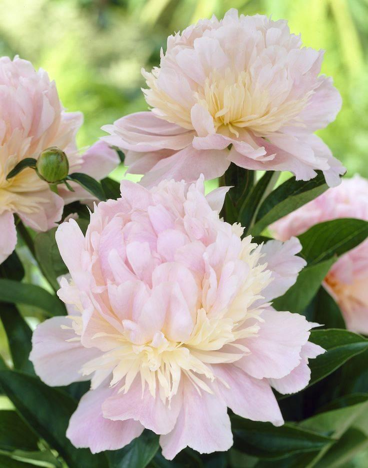 Пион энджел чикс (paeonia angel cheeks) - характеристики сорта