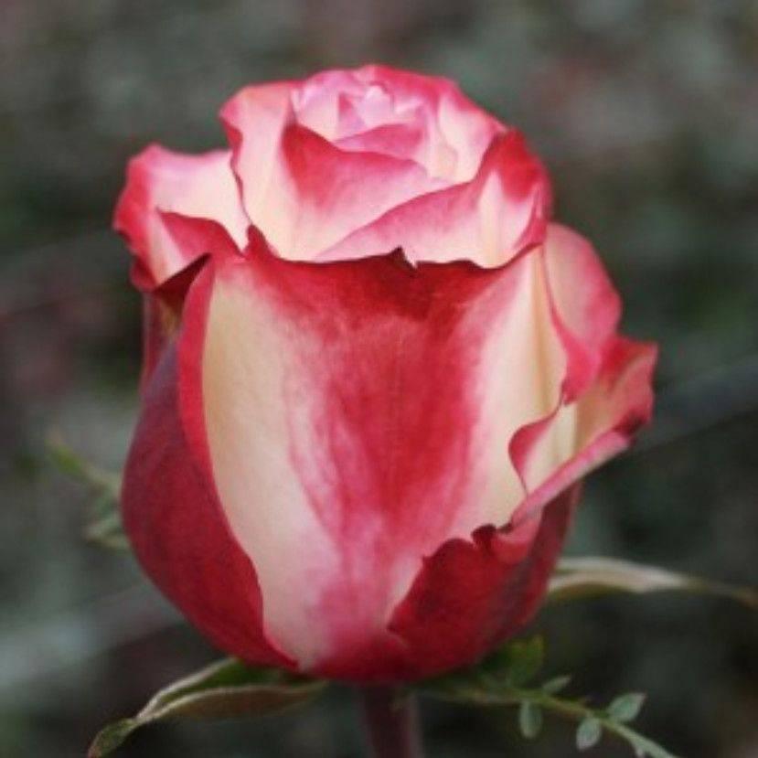 Описание чайно-гибридной розы восточный экспресс (пульман ориент): особенности