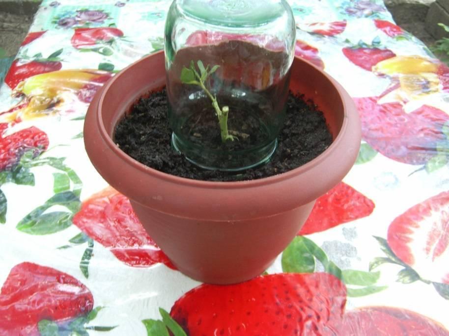 Как размножать азалию в домашних условиях черенками: укоренение цветка