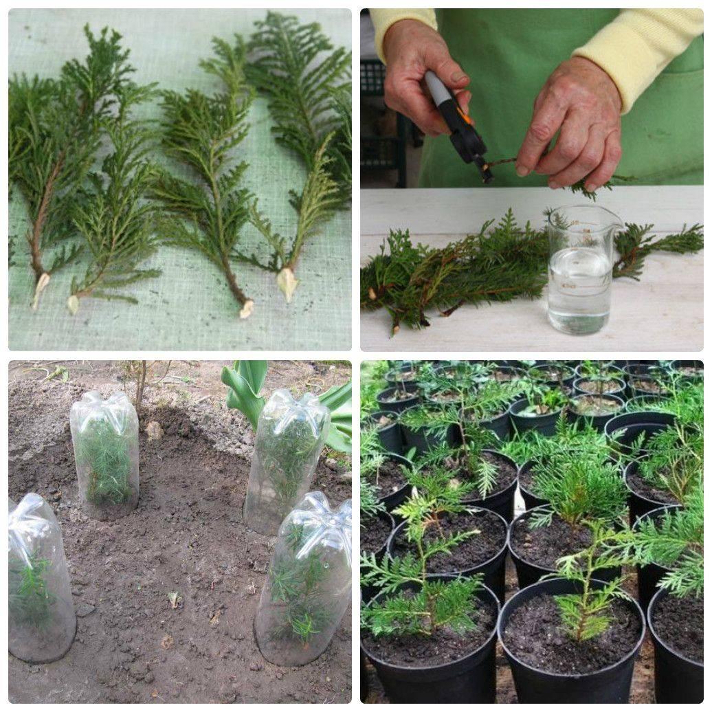 Аустроцилиндропунция — оригинальный кактус для ленивых цветоводов