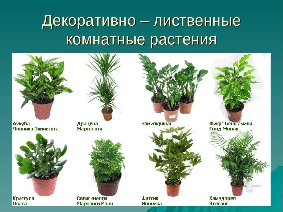 Домашние комнатные растения названия и фото