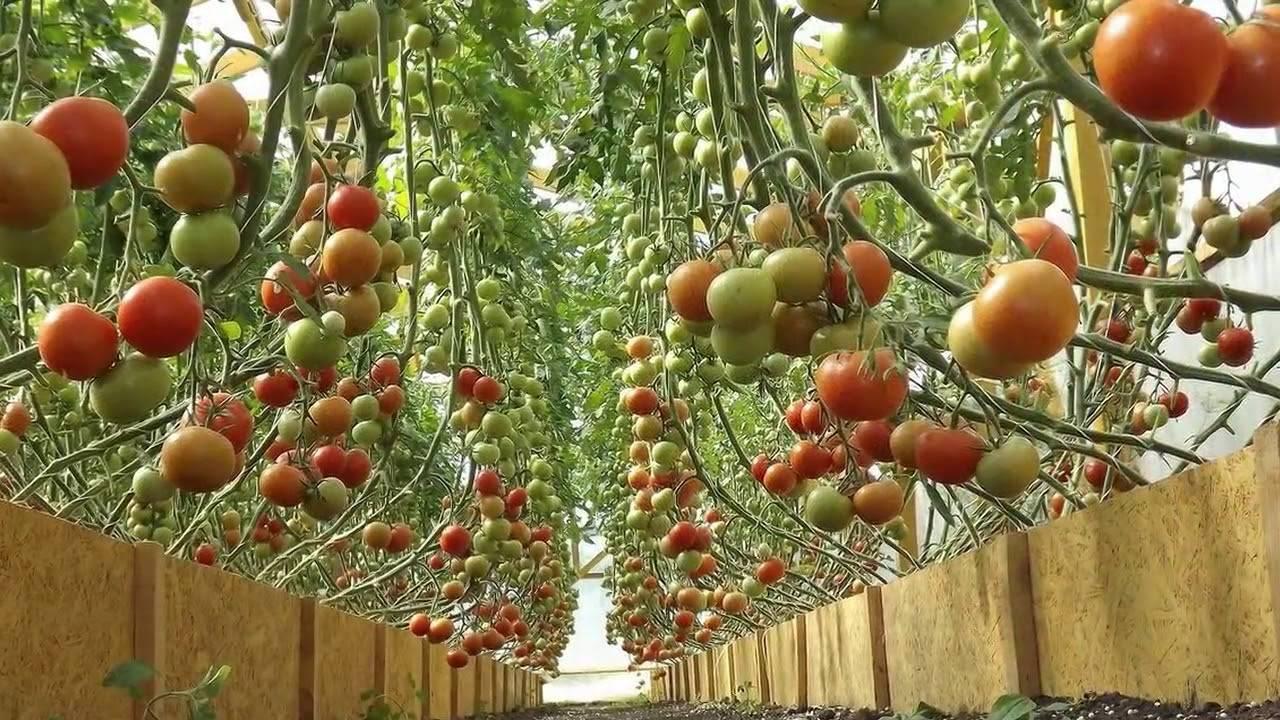 Можно ли сажать помидоры по два куста в одну лунку: какие томаты помещают в ямку по несколько штук и что даёт данная технология, каков процесс выращивания корней?