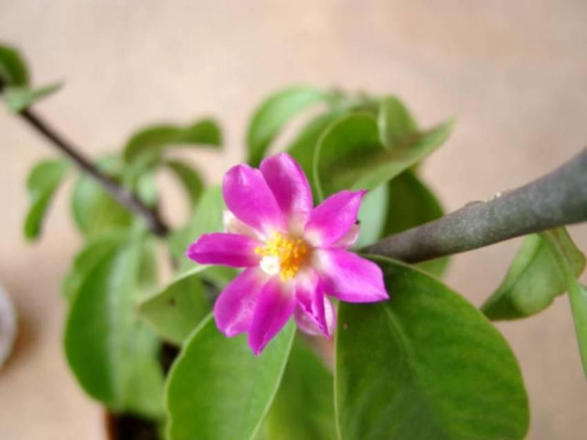 Древний кактус с листвой — «переския»: уход в домашних условиях, фото видов