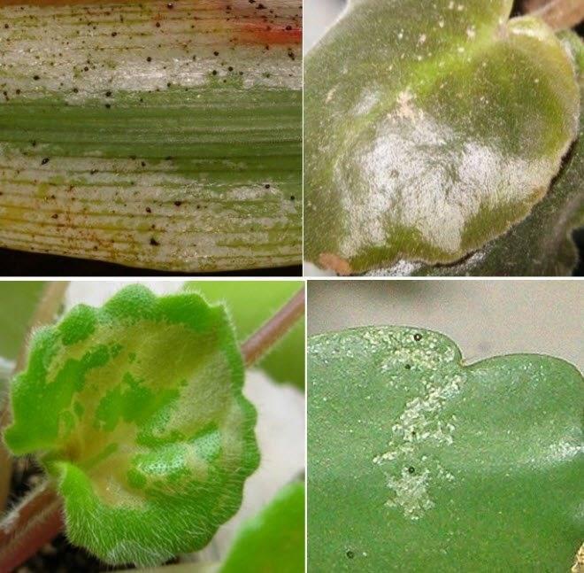 Защита многолетних цветов от болезней и вредителей - энциклопедия цветов