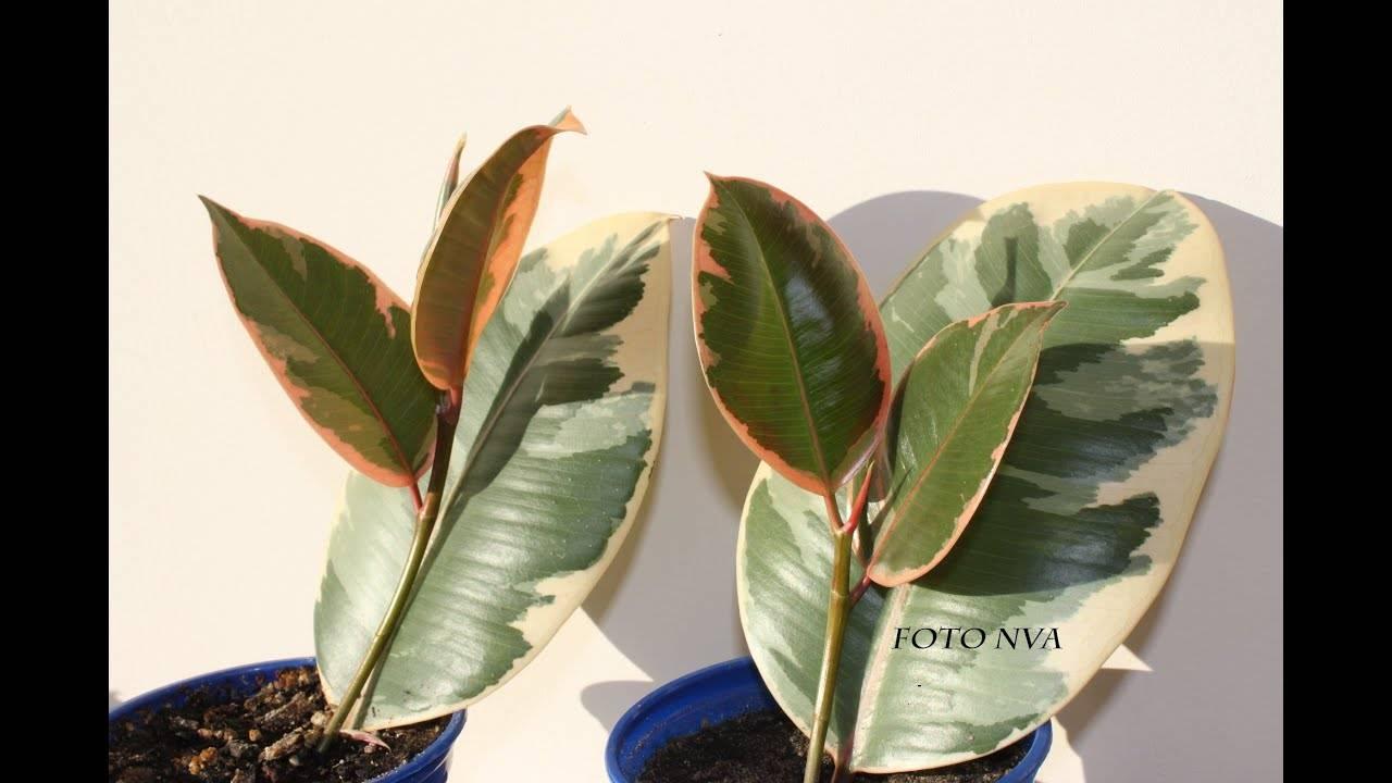 Правила и методы пересадки фикуса каучуконосного в домашних условиях. особенности роста цветка