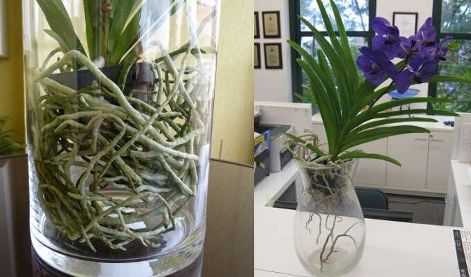Великолепные орхидеи ванда (vanda)