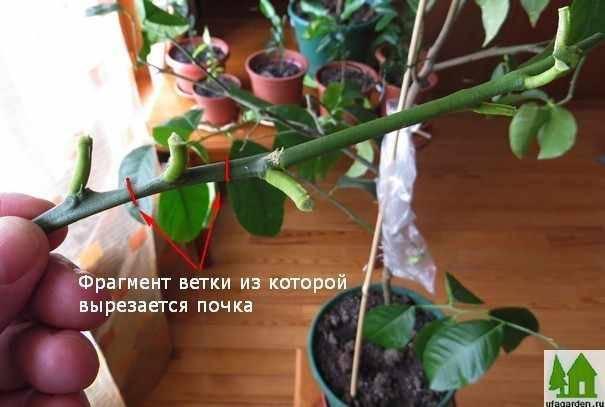Лимонное дерево — уход за комнатным растением