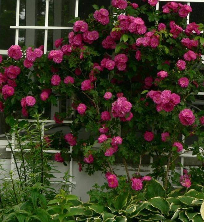 Описание чайно-гибридной розы сорта гейша из группы флорибунда: посадка и уход