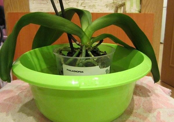 Полив орхидей чесночной водой