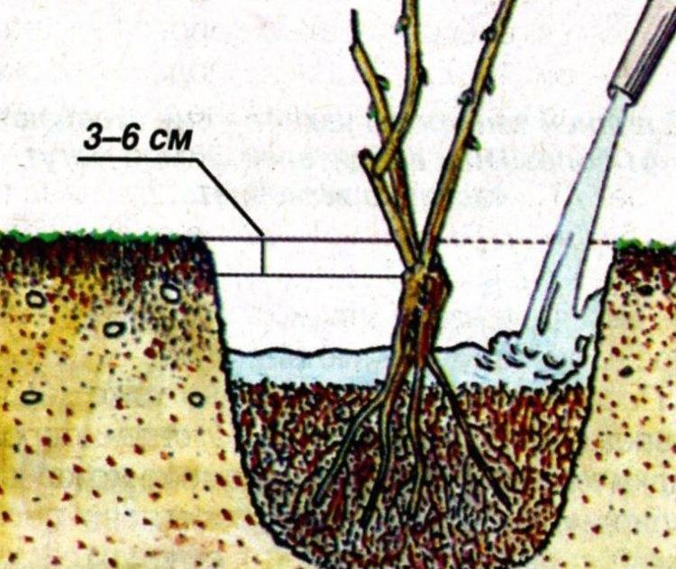 Как посадить почвопокровные розы весной (пошаговая инструкция с фото)