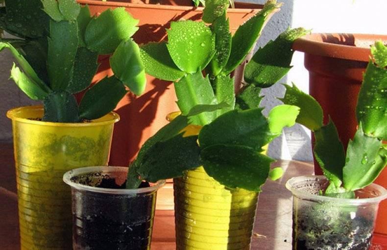 Павловния — выращиваем из семян