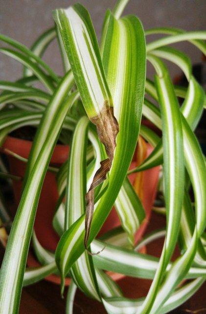 Болезни и вредители драцены: почему она сохнет, и желтеют кончики листьев