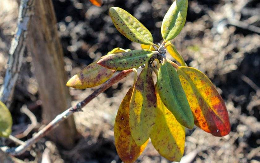 Почему у азалии сохнут и опадают листья и как спасти растение?